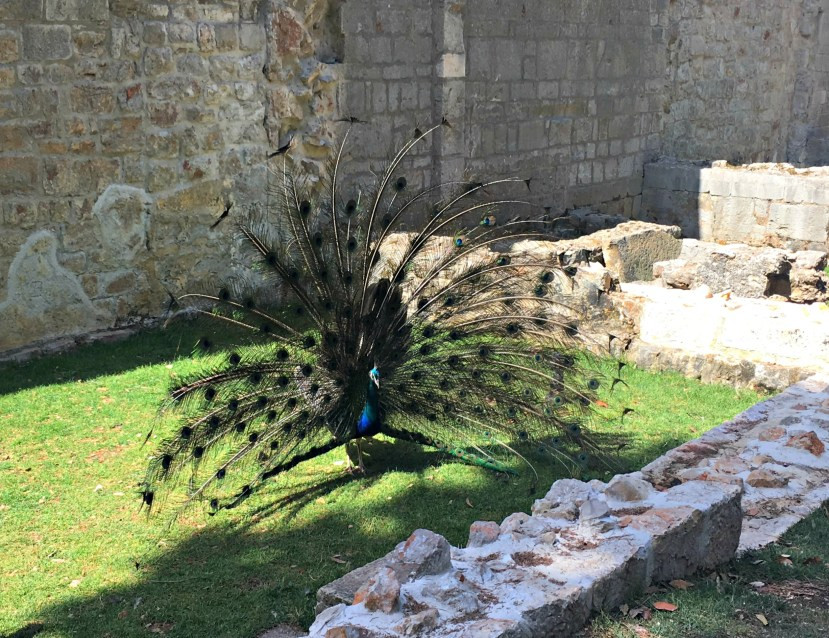 Peacock in Lokrum
