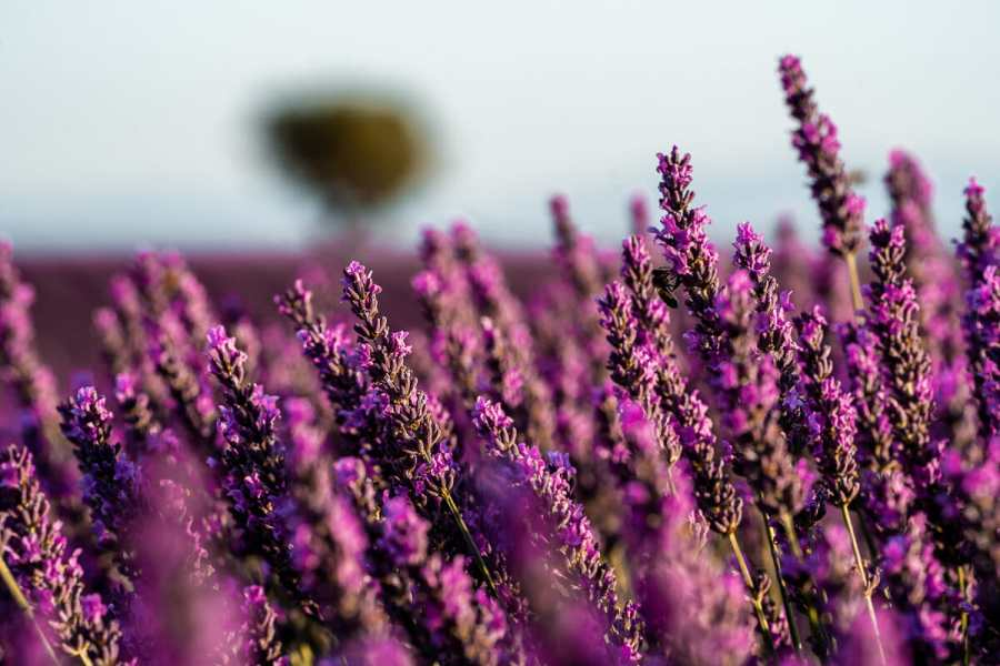 Lavenders in Provence, France