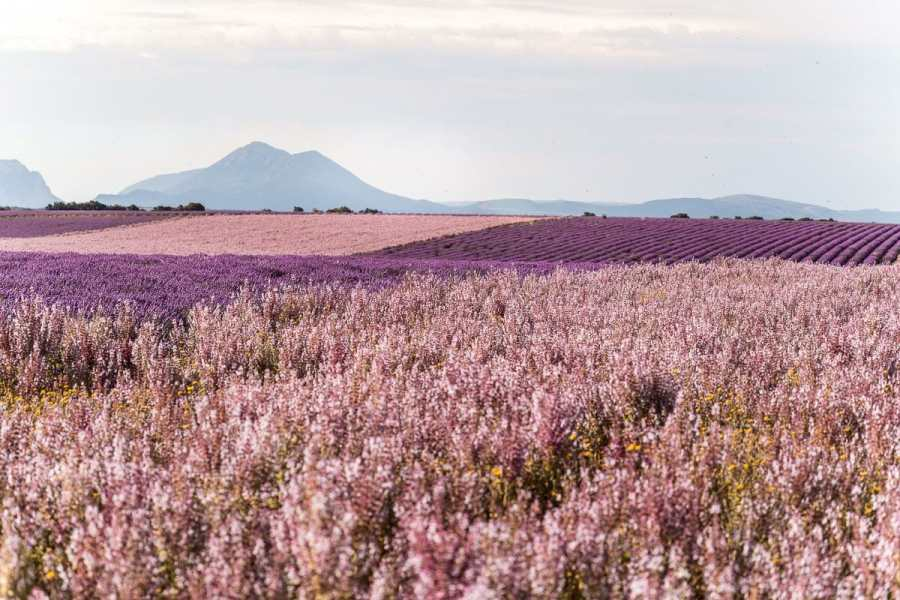 Sage field and lavender field in Provence, France