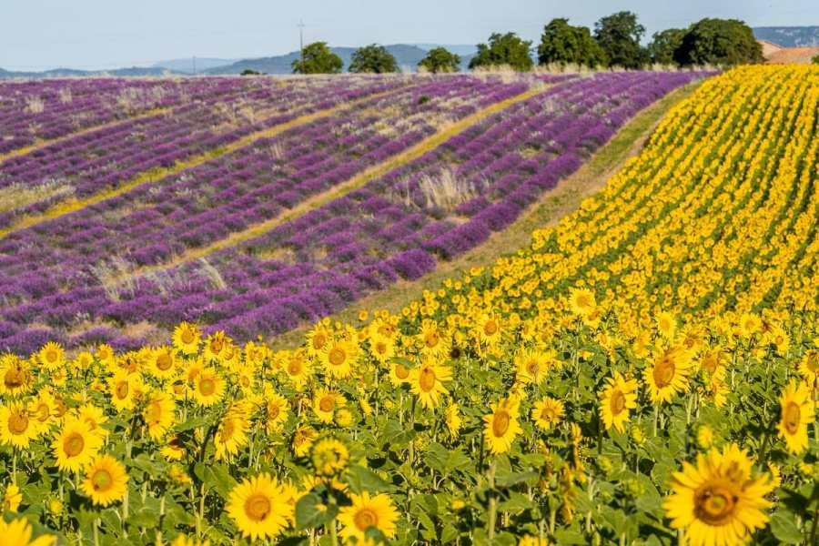 Sunflower and lavender fields in Provence