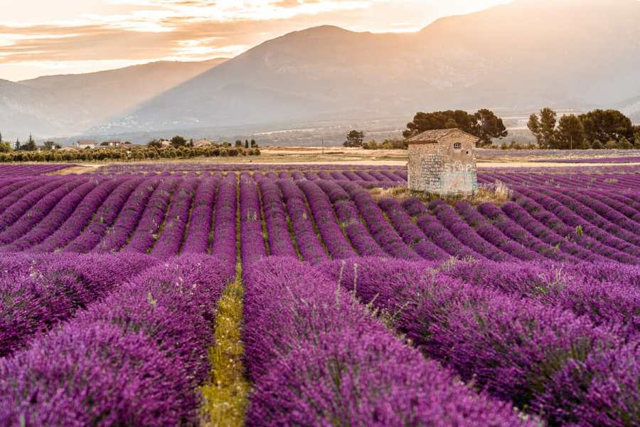Sunrise at the lavender fields in Provence, France