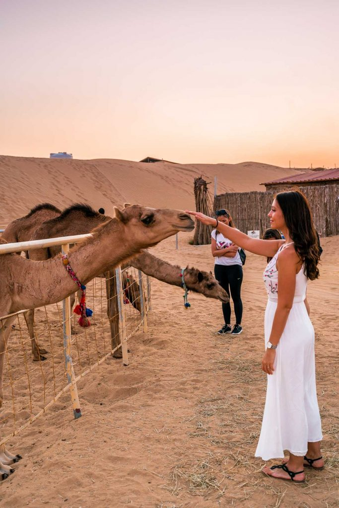 Girl in a white dress playing with camels at sunset in the Dubai desert