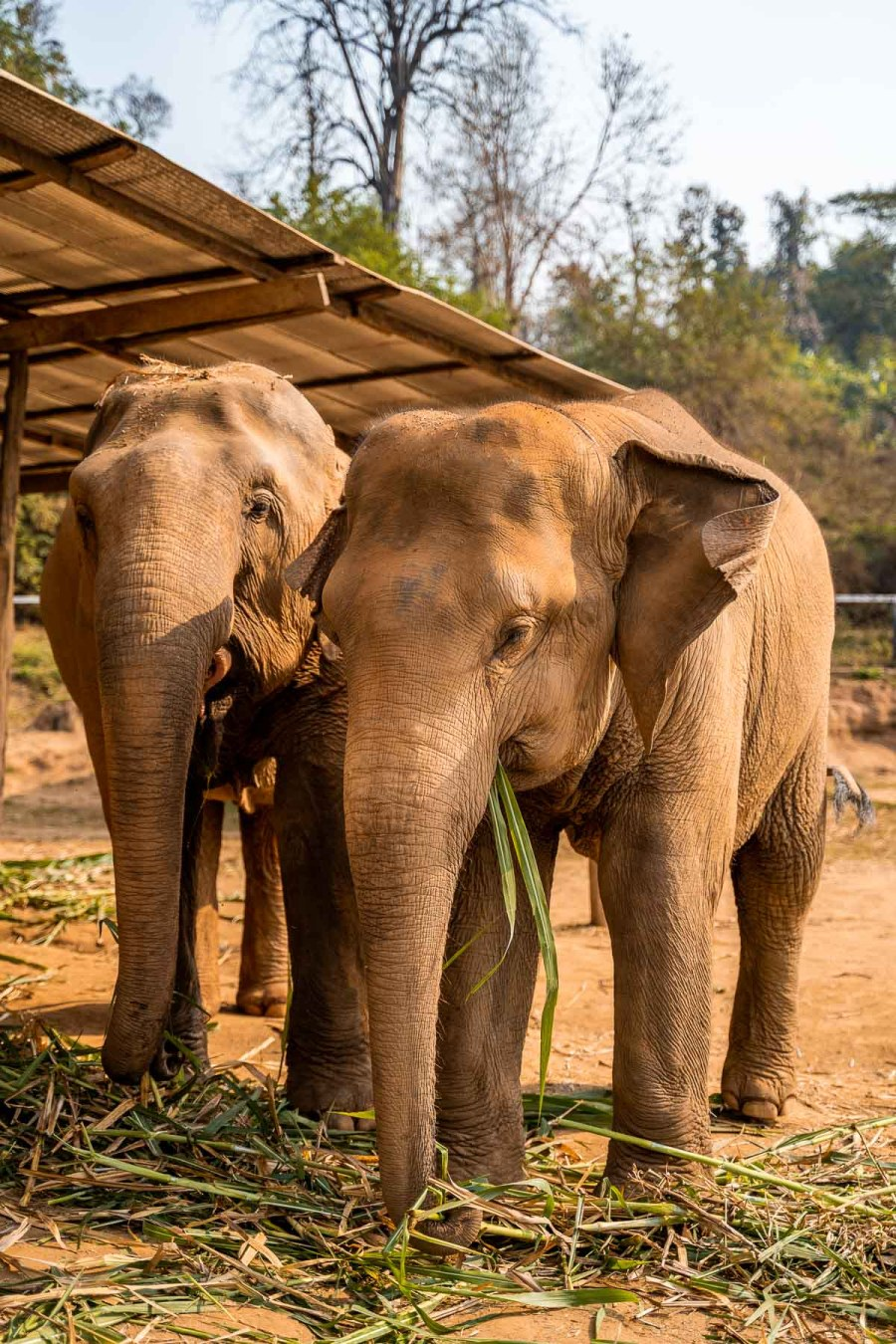 Two elephants feeding on grass at Elephant Jungle Sanctuary Chiang Mai