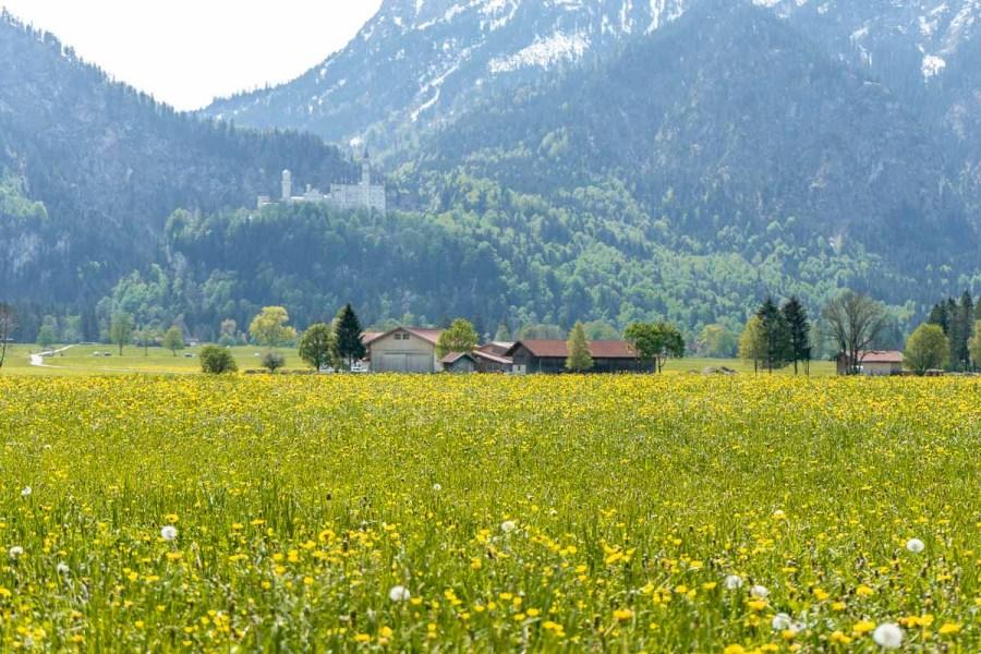 Neuschwanstein Castle from a daffodil field