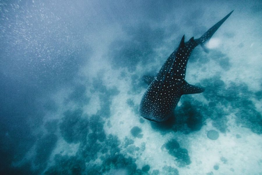 Whale shark on Leyte, Philippines