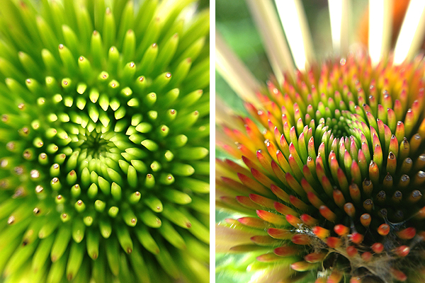 Coneflower : Photography fun with the olloclip lens.