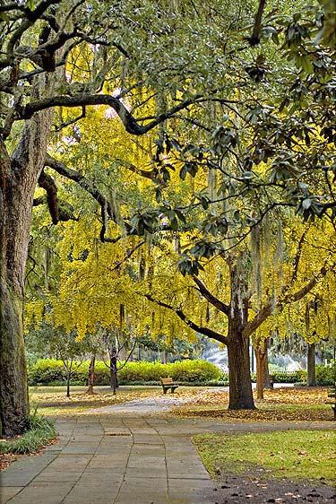 ginkgo trees in savannah ga