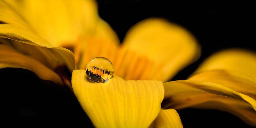 Капля воды на жёлтом цветке