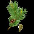pin-sylvestre