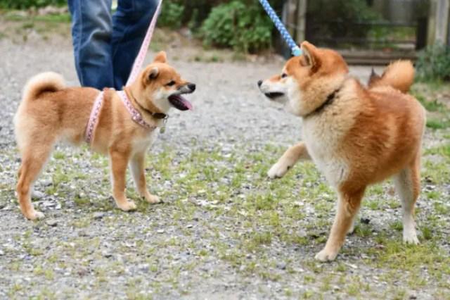 柴犬の遊び