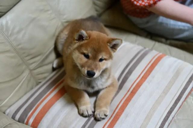 伏せをして待つ柴犬の子犬