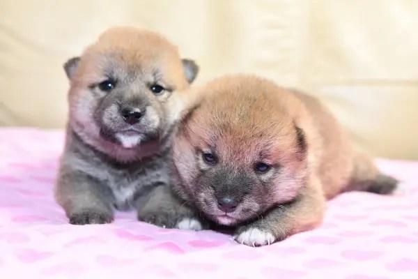 生後21日目の柴犬オスの子犬です。