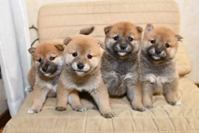 生後35日目の柴犬の子犬たちの写真