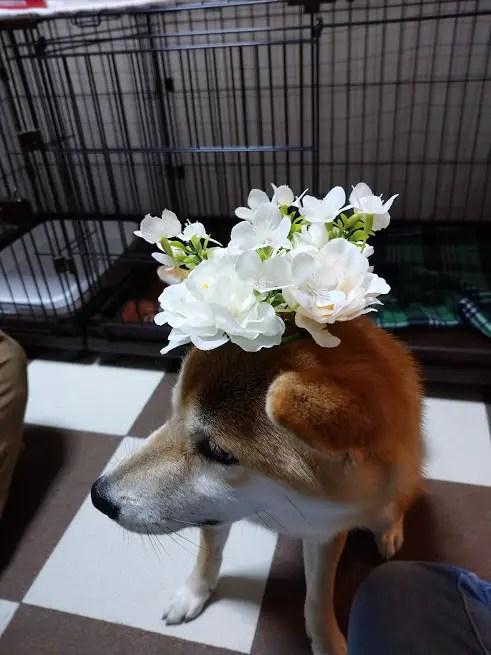 柴犬赤丸ちゃんの1歳のお誕生日