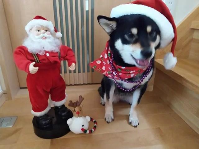 サンタクロースと黒柴さきちゃん