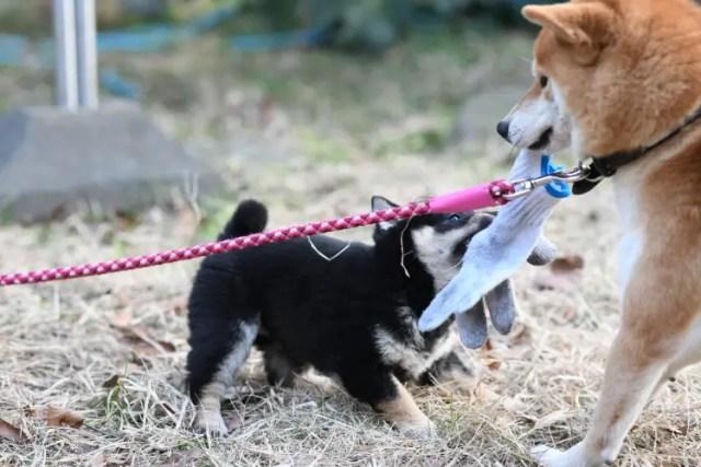 柴犬お母さんと戯れる柴犬の子犬
