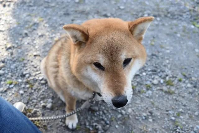 濃厚接触な柴犬美晴姫です