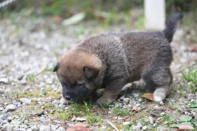 生後28日目の柴犬の子犬