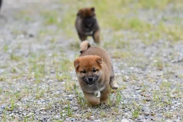 生後41日目の柴犬の子犬たち