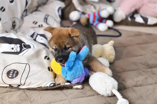 生後45日目の柴犬の子犬の写真