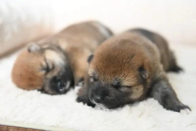 メスの柴犬の子犬の写真