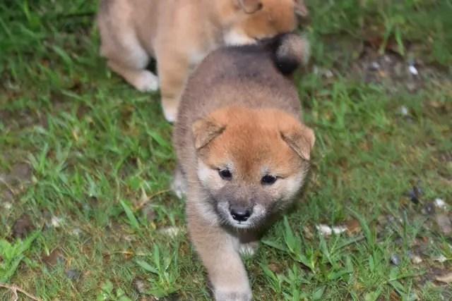 生後32日目の柴犬の子犬の写真