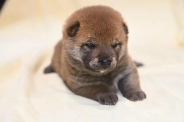 生後22日目の柴犬オスの子犬の写真