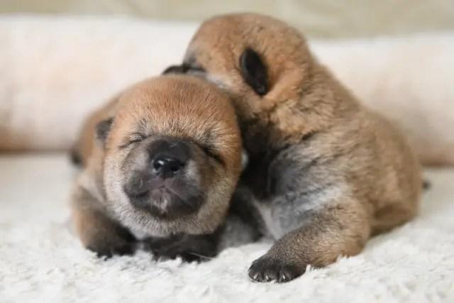 生後13日目の柴犬の子犬の写真