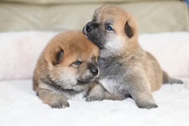 生後20日目の柴犬の子犬の写真