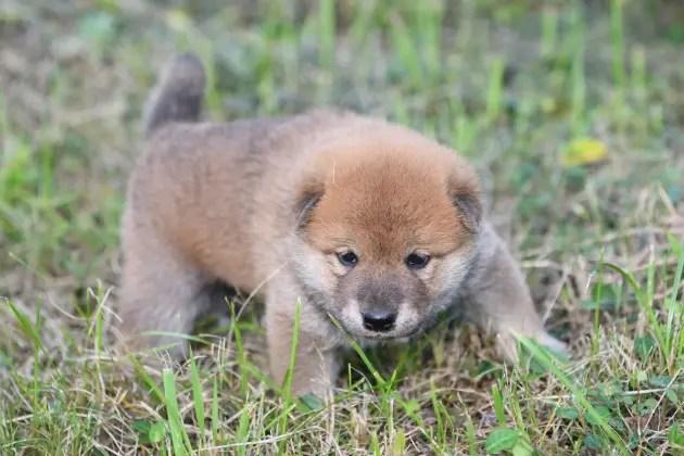 生後25日目の柴犬の子犬たちの写真