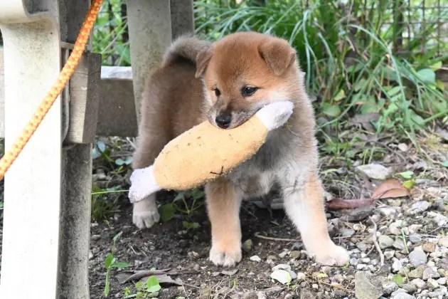 生後43日目の柴犬の子犬たちの写真