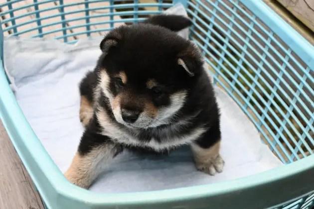 生後31日目の黒柴♂の子犬