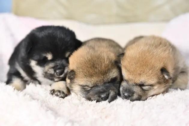 生後18日目の柴犬の子犬