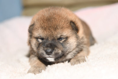 赤柴オスの子犬の写真