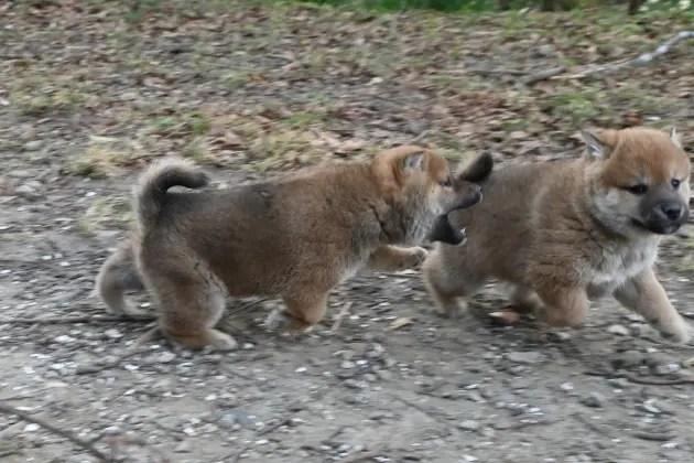 生後40日の柴犬の子犬の写真