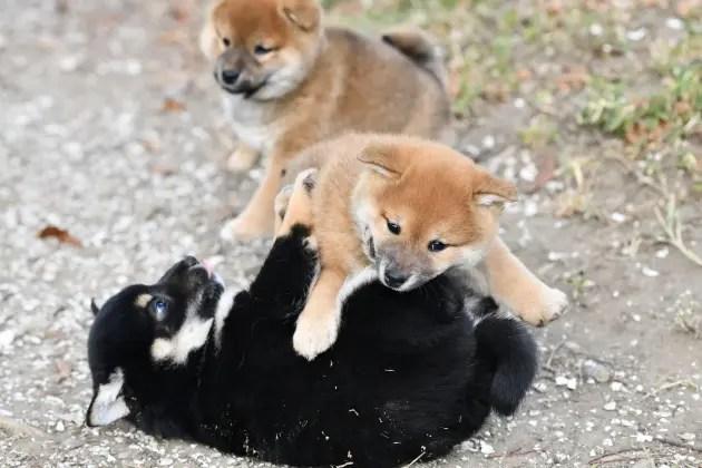 生後48日目の柴犬の子犬たちの写真です。