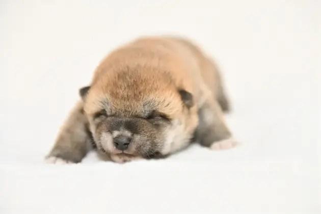 生後11日目の柴犬の子犬の写真