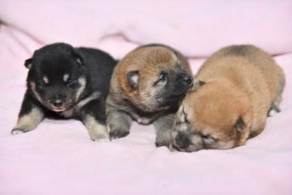 生後15日目の柴犬の子犬たちです。