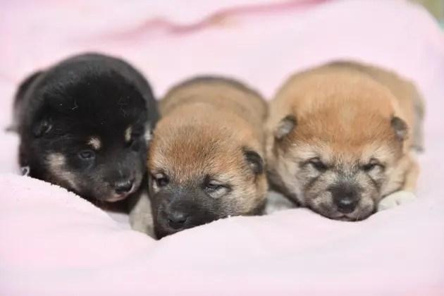 生後18日目の3匹の柴犬の子犬たちの写真