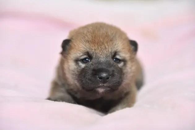 赤柴メスの子犬の写真