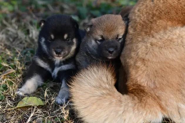 外遊びをする柴犬の子犬たちです。