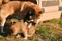 生後32日目の柴犬の子犬です。