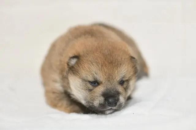 目が開いたばかりの柴犬の子犬