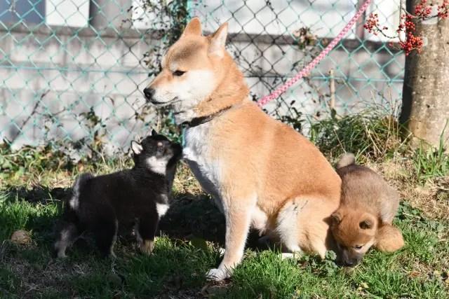 生後39日目の柴犬の子犬たち