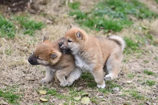 生後40日目の柴犬の子犬
