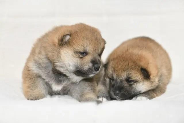 生後18日目の柴犬の子犬の写真