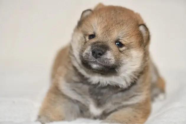 生後22日目の柴犬の子犬
