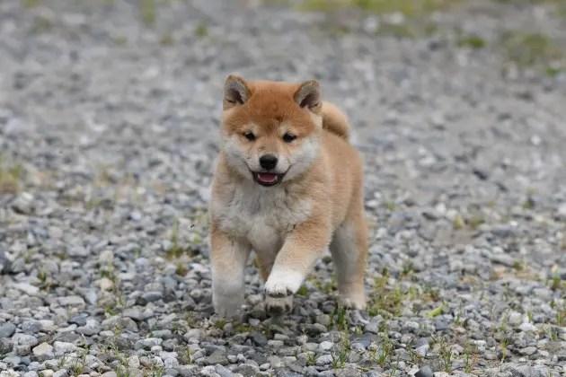 生後41日目の柴犬の子犬の写真