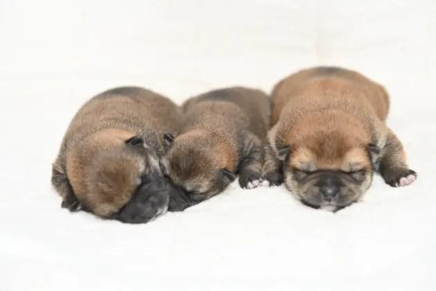 生後5日目の柴犬の子犬たちの写真