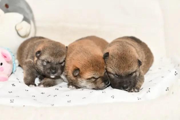 目が開いたばかりの柴犬の子犬たちの写真。